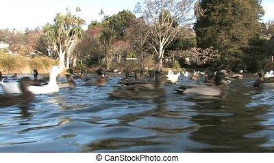 parc, lac, canards