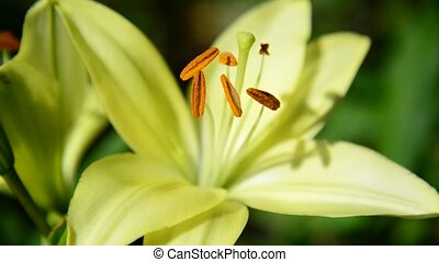 parterre fleurs, varietal, haut, jaune, grand, fin, lis