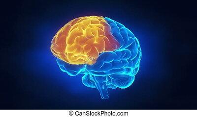 parties, cerveau humain