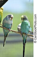pastel coloré, plumes, parakeets, surprenant, paire