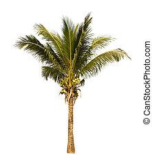 paume, arbre., noix coco