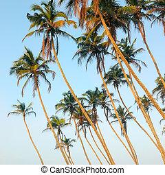 paume, arrière-plan., exotique, beau, noix coco, arbres