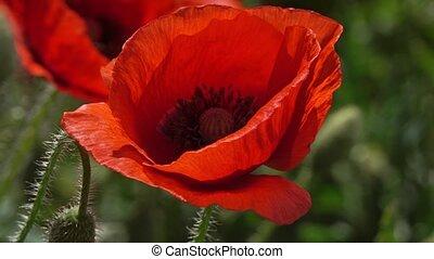 pavot, temps, gros plan, fleurs, été, rouges