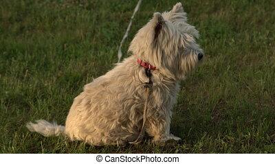 pelouse, région montagneuse, yard, jardin, ouest, race, chien, dos, vert, pur, à poil, dehors., blanc, herbe, terrier