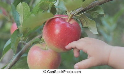 pendre, frais, branche, garden., arbre, pommes, pomme