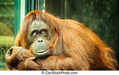 pensée, orang-outan