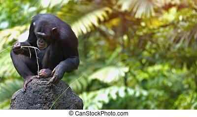 perché, rocher, mûrir, chimpanzé, zoo