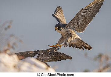 peregrine faucon
