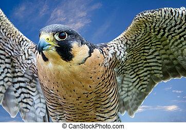 peregrinus), (falco, peregrine faucon