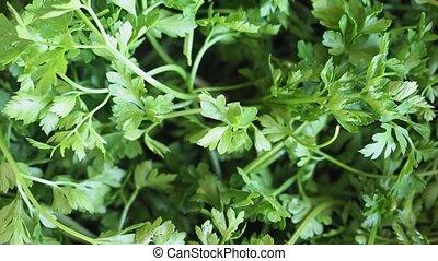 persil, aka, cilantro