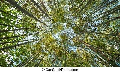 perspective, arbre bambou