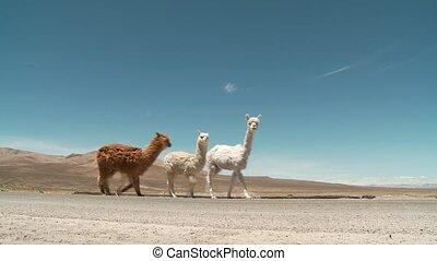 (peru), amérique, sud, lamas