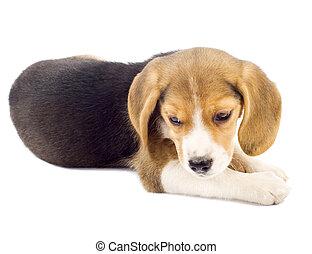 petit, beagle, chiot, coucher