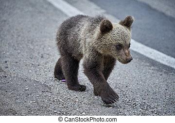 petit, ours brun