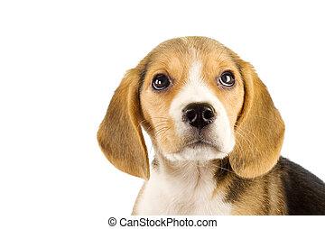peu, chiot, beagle