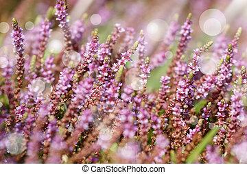 peu, fleurs, pourpre, arrière-plan vert, herbe