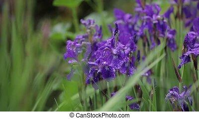 peu, flore, coup, jardin, pourpre, grass., grandir, agréable, gros plan, fleurs, romantique, iris, venteux, beau, weather., sways, vent, flowers., séduisant, vente, grand