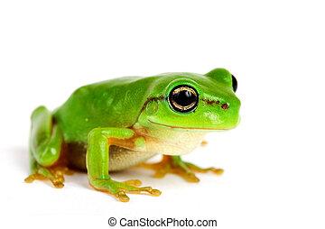 peu, fond blanc, tree-frog