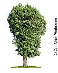 peuplier, blanc, arbre, isolé, fond