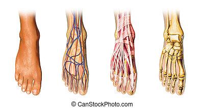 pied, anatomie, representation., humain, jaquette