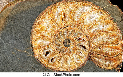 pierre, fossile, coquille