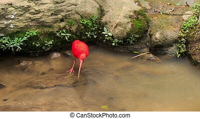pierres, écarlate, peu profond, eau, ibis, clair, promenades