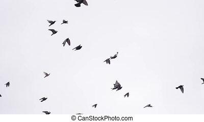 pigeon, troupeau, vol, hd