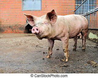 pigpen, cochon