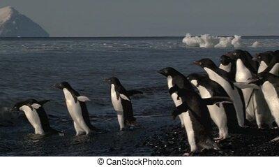 pingouin adelie