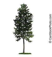 (pinus, arbre, isolé, pin, écossais, blanc, sylvestris)