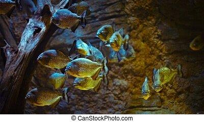 piranhas, école, aquarium, public