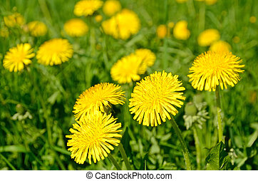 pissenlits, fleurir, (taraxacum, officinale)