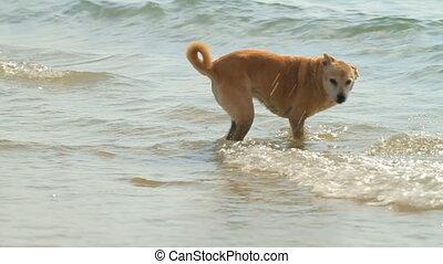 plage, chien