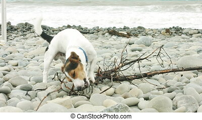 plage., mastication, chien, crosse