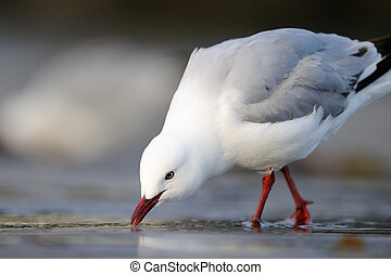 plage., rouge-facturé, mouette, fourrager, novaehollandiae), (larus