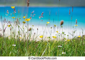 plage, turquoise, printemps, scotland., haut, luskentyre, eau, fond, harris, île, fin, fleurs blanches, île, sablonneux, hebrides
