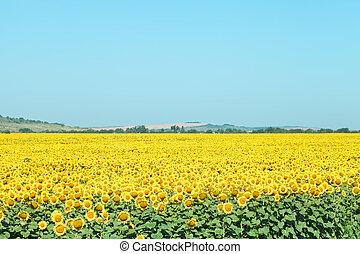 plantation, été, collines, tournesol, jour