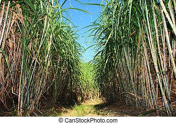 plantation, canne, sucre