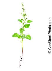 plante, blanc, racine, isolé, atriplex