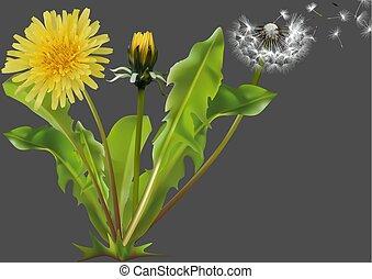 plante, commun, pissenlit