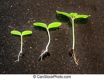 plante, croissance, séquence