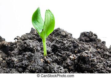 plante, croissant, vert