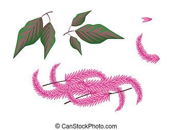 plante, cruentus, amaranthus, parties, fond, blanc