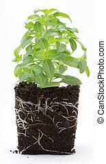 plante, doux, isolé, sol, basilic, blanc, racines
