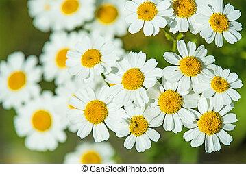 plante, feverfew, fleur médicinale