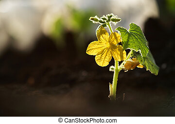 plante, fleur, sol, petit, concombre, dehors, croissant