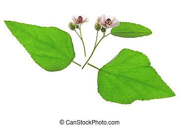 plante, guimauve