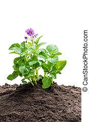 plante, pomme terre, isolé, sol, fleurs blanches