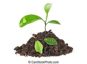 plante, sol, feuilles, jeune, fond, blanc, baissé
