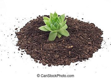 plante, sol, isolé, houseleek, humus, tas, blanc
